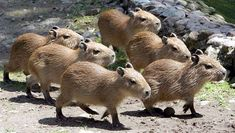 so many capybaras!