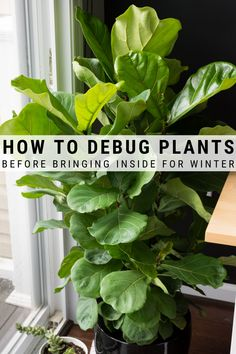 Learn how to debug large plants to bring indoors for the winter. Get rid of any outdoor pests they might have picked up with a few simple steps. Large Indoor Plants, Small Plants, Types Of Plants, Air Plants, Cactus Plants, House Plants Decor, Plant Decor, Diy Planters, Succulent Planters