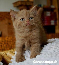 Britisch Kurzhaar (BKH) Kitten und Britisch Langhaar Katzenbabys: August 2012
