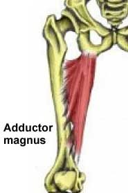 Adductor magnus muscle  Groin Strain