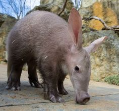 Kito, a baby Aardvark at the Prague Zoo, explored his outdoor enclosure for the first time.  Find out where he went at ZooBorns.com and at http://www.zooborns.com/zooborns/2016/02/baby-aardvarks-big-adventure.html