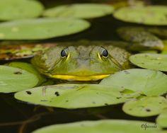 Bull frog, photo: Les Piccolo