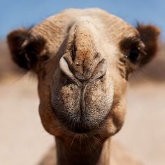 Camel!!!! They are my favorite animal and I can officially say I have rode on one:)