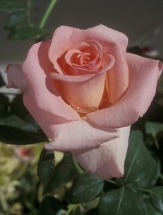 'Confidence' Hybrid Tea Rose