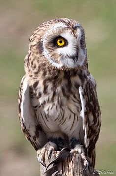 Short Eared Owl (Asio Flammeus) | Flickr - Photo Sharing!