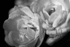 Flower Photography Dewdrops on Rose home by UnAirDeParisByAlbane