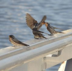 Welcome Swallow Feeding Young by Tomislav Vucic on Swallow Swallow Bird, Original Image, Welcome, Wildlife, Birds, Babies, Nature, Animals, Animals Dog