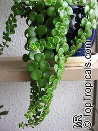 Sedum tetractinum - toptropicals.com/...