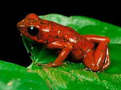 Strawberry Poison Dart Frog    Photograph by George Grall    Strawberry poison dart frogs are less venomous to humans than other poison dart frogs, but their toxins will cause swelling and a burning sensation.