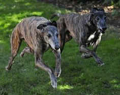 This is what my pup lacy looks like when she runs! It's the greyhound in her :)