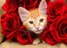 Pet owners know that the greatest way to spend Valentine's Day isn't with Prince Charming—it's with the four-legged friend who loves you unconditionally all year round. Cute Cats And Dogs, I Love Cats, Cats And Kittens, Valentines Day Cat, Animal Society, Pet News, Orange Cats, Ginger Cats, Cat Facts