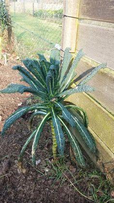 Palmkool Nero di Toscane in februari na een zachte winter.