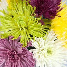 Spider Mum Flowers in Bulk. Perfect to keep your home decorated year-round under a budget! Spider Mums, Fresh Flowers, Wedding Flowers, Floral Design, Bouquet, Create, Plants, Decor, Dekoration