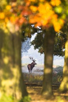 Richmond Park is one of my favourite place to visit。リッチモンドパーク。鹿。シカ。黄葉。 London City, Beautiful Creatures, Animals Beautiful, Parks, Richmond Park, Red Deer, Mundo Animal, Belle Photo, Beautiful World
