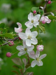 Free Photo: Apple Blossoms, Bud, Flowers - Free Image on Pixabay ...