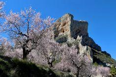 Almendros en la montaña.  #almendros #montaña #nature #naturaleza #mountain #primavera #spring #almondtrees