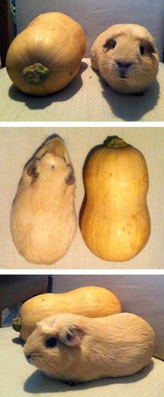 Guinea Pig's Stunt Double is this butternut squash