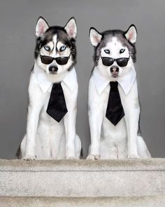 Alaskan Husky Dogs A massive collection of gifts, clothes, mugs, jewelry, everything Husky! All in the same place at the lowest prices. If you are a siberian husky lover check it out. Husky Humor, Funny Husky, Husky Puppy, Husky Mix, Husky Dog Names, Siberian Husky Facts, Siberian Huskies, Funny Animals, Cute Animals