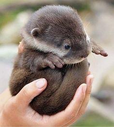 A sea otter pup! pic.twitter.com/SnOGTU2TB4