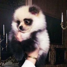 This is a Pomeranian but he looks like a panda... ..... MINE!!!!!!!!