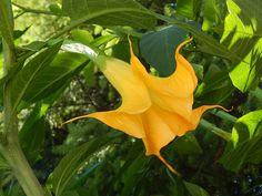 Brugmansia - Angel's Trumpet