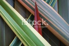 Phormium Background Royalty Free Stock Photo Floral Backgrounds, Kiwiana, Annual Plants, Medicinal Plants, Native Plants, Image Now, New Zealand, Medicine, Royalty Free Stock Photos