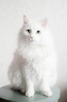 Norwegian Forest Cat by Zolfyer.deviantart.com on @deviantART