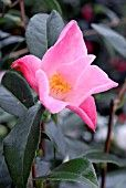 Google Image Result for http://www.gardenworldimages.com/ImageThumbs/ADE_070305161/1/ADE_070305161_CAMELLIA_TULIP_TIME_COLLECTION_PPINEIRE_ROU.jpg