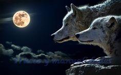 Los lobos son monógamos: una pareja permanecerá unida toda su vida. Si los machos luchan entre sí, no lo hacen por la posesión de las hembras, sino para