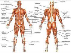 muscular system labeled | muscular system labeled | pinterest, Muscles