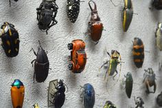A VW Beetle Spotted in the Insect Collection at the Cleveland Museum of Natural History