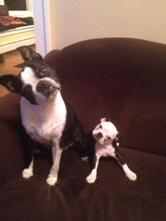 Like father, like son #bostons #bostonterriers #dogs #puppy