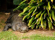 Hungry Alligator Drops By For A Snack - News - Bubblews