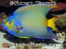Queen Angelfish - Holacanthus ciliaris