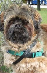 Max is an adoptable Shih Tzu Dog in Waukesha, WI. Hi, my name is Max and I am a 6 yr old Shih Tzu looking for a home with some older people that will have to be just a teeny, tiny bit patient with me....