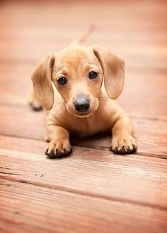 45 Cute and Amazing Dachshunds Pictures #dachshund