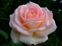 https://flic.kr/p/EYZ6wt | Rose | www.youtube.com/user/yewmchan/videos