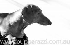 Melbourne Pet Photography - Dusty the Daschund.  www.pupparazzi.com.au  See more at https://www.facebook.com/PetPhotographyMelbourne