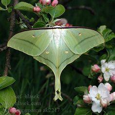 绿尾天蚕蛾 Actias ningpoana Lunar Moth, Butterflies, Insects, Animals, Animales, Animaux, Butterfly, Bowties, Animal