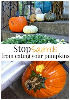 How to keep squirrels from eating your pumpkins. chatfieldcourt.com
