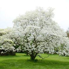Legend of the Dogwood Tree Hydrangea Garden, Hydrangea Flower, Dogwood Trees, Flowering Trees, American Hazelnut, Mountain Ash Tree, Hazelnut Tree, Types Of Hydrangeas