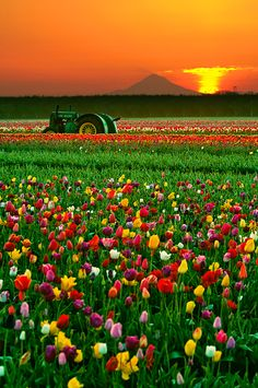 "Colorful Sunrise By Roman Johnston:  ""The tulips at Woodburn rotate every year, and I waited  3 years to get the rotation that allowed the iconic  Mt. Hood to show itself. I lucked out that they left the classic John Deere tractor in the fields overnight  providing counterbalance to the awesome sunrise.""  Wooden Shoe Tulip Festival"