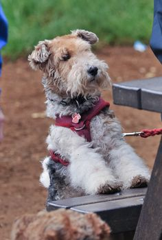 Gracie the Wire Fox Terrier snap shot Fox Terriers, Perro Fox Terrier, Wirehaired Fox Terrier, Welsh Terrier, Terrier Breeds, Wire Fox Terrier, Dog Breeds, Happy Animals, Animals And Pets