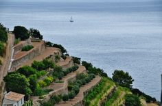 Feixes de vinyes Banyalbufar, Mallorca
