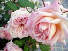 China Rose: Rosa 'Xiang Fen Lian' (China, before 1855)
