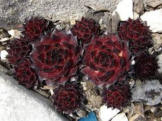 I am in love with the colour contrast - the burnt red-black of the leaves with the stark, lifeless grey. Succulent Gardening, Planting Succulents, Planting Flowers, Rock Garden Plants, Garden Types, Colorful Succulents, Growing Succulents, Air Plants, Cactus Plants