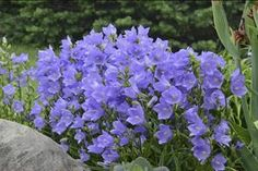 "Campanula persicifolia Takion Series—Blue, compact 16-20"" high; wholesale from Walters Gardens, Inc."