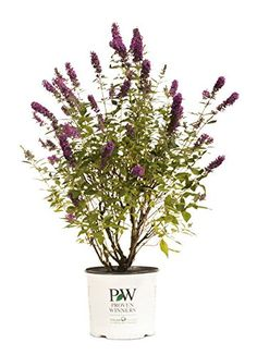 Miss Violet Butterfly Bush Buddleia Live Shrub Purple Flowers 1 Gallon *** You can find more details by visiting the image link.