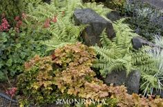 Monrovia's Ghost Fern details and information. Learn more about Monrovia plants and best practices for best possible plant performance.