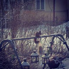 Perinnemiljööseen kuuluvat kaupungeissakin myös pihat vanhoine puineen. Tämän ansiosta naapuruskuntaan kuuluu myös pieneläimiä linnuista oraviin ja kettuihin. Jos haluat etteivät alkuperäisten ikkunoidesi pellavakitit häviä parempiin nokkiin kannattaa yya-hengessä tarjota naapureille parempaa murkinaa. Tässä pihaoravamme Touho ruokinta-apajilla. Samolla pääpaikoilla on huseerannut talven aikana kaikenkarvaista jengiä käpytikoista citykaneihin. #annasitätalia #ruokakuppiniontyhjä #siemenjytky…